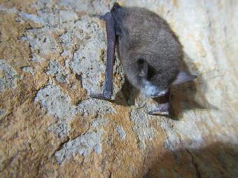 Southeastern Bat with P. destructans Fungus