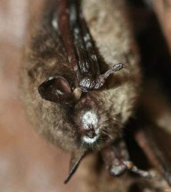 Image: Bat with White-nose Syndrome