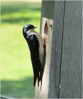Image: Household Products Could Harm Tree Swallows