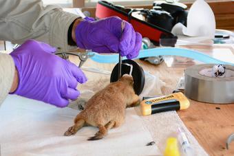 Image: Sampling Prairie Dog Fur