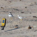 Two banded piping plover adults stand near a nest with a small video camera pointed at it on a sandbar of the Missouri River.