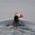 Tufted Puffin, the species most affected by a recent seabird die-off in the Pribilof Islands, AK